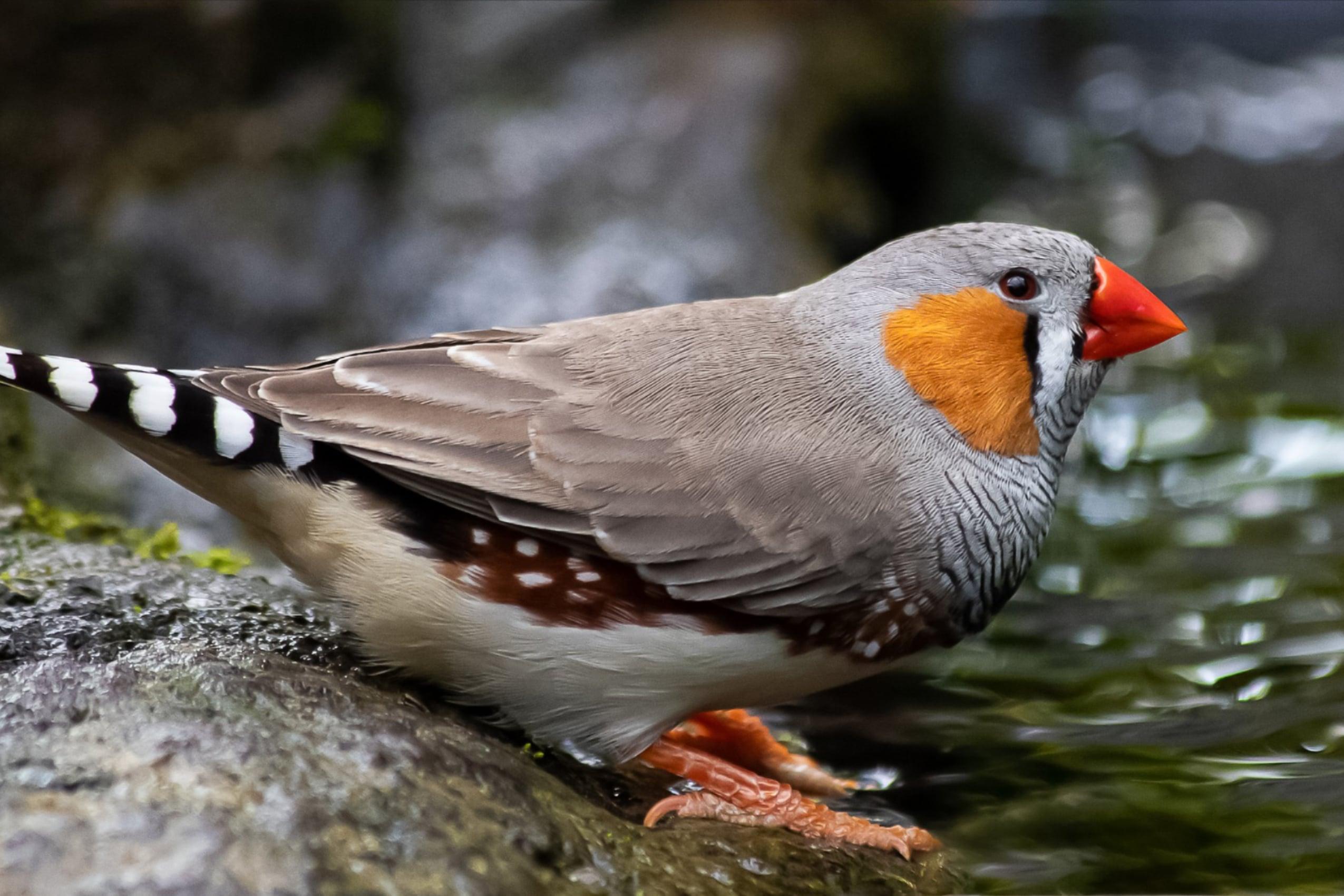 Mengintip Peluang Usaha Burung Kicau, Salah Satunya Kutilang Emas
