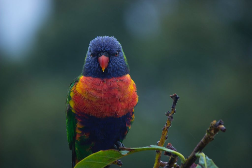 Hobi Memelihara Burung Kutilang Emas? Ini Bisa Menjadi Bisnis Menjanjikan