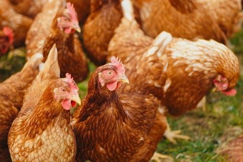 Mengintip Saham CPIN di tengah Harga Ayam yang Turun