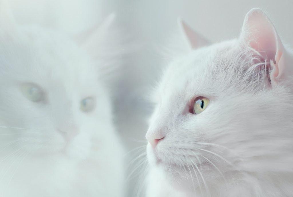 Harga kucing Anggora anjlok di tengah krisis pandemi hingga 75%, memungkinkan penggemar dari berbagai lapisan untuk membeli dan mewujudkan hobi memelihara hewan pujaannya!