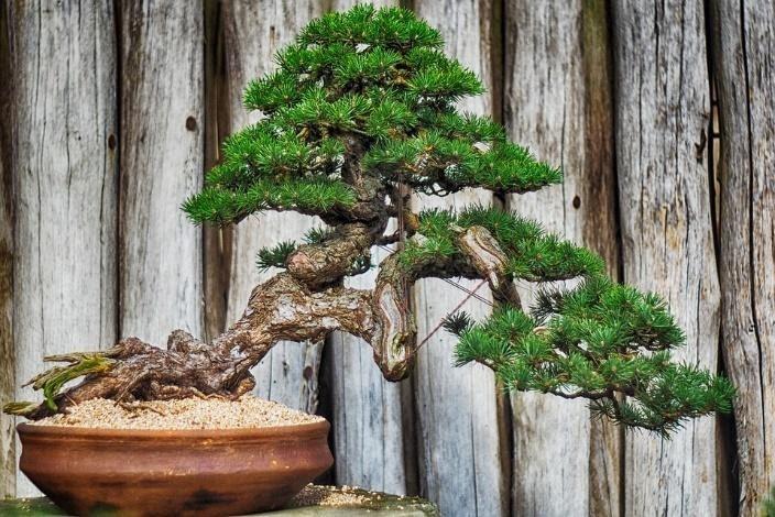 bonsai termahal di dunia