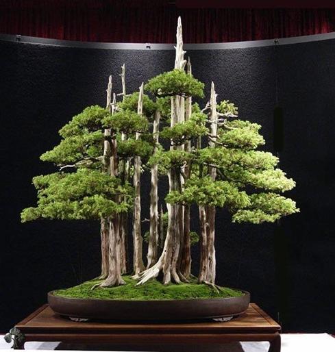 bonsai termahal di dunia - goshin
