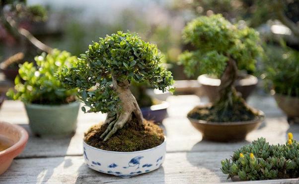 bonsai termahal di dunia - sang shohin