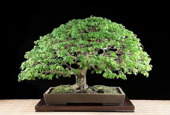 bonsai hujan brazil