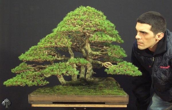 bonsai termahal di dunia - pinus silvestris