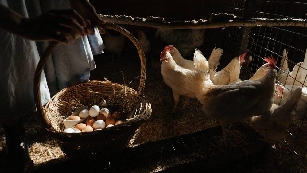 Ayam dan telur.
