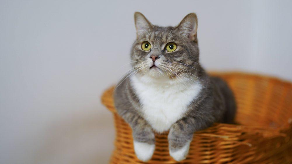 Seekor kucing yang sedang berada di dalam sebuah keranjang.