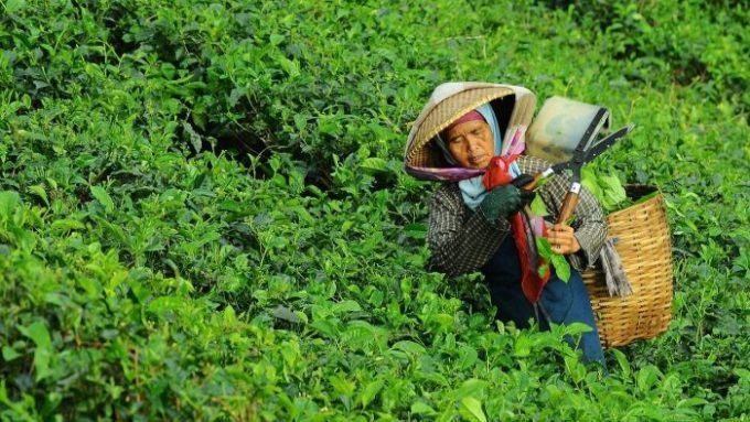 Seorang petani teh yang sedang mengambil hasil perkebunan teh.