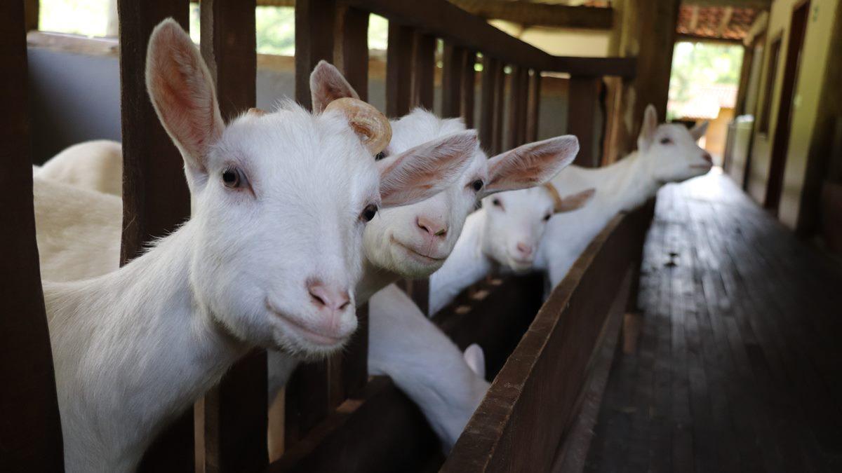 Peternakan kambing yang berisikan anak-anak kambing.