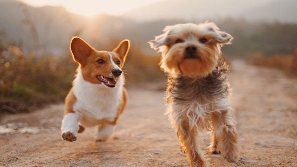 Dua ekor anjing yang sedang berlari bersama.